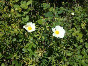 sughereta pomezia fiori